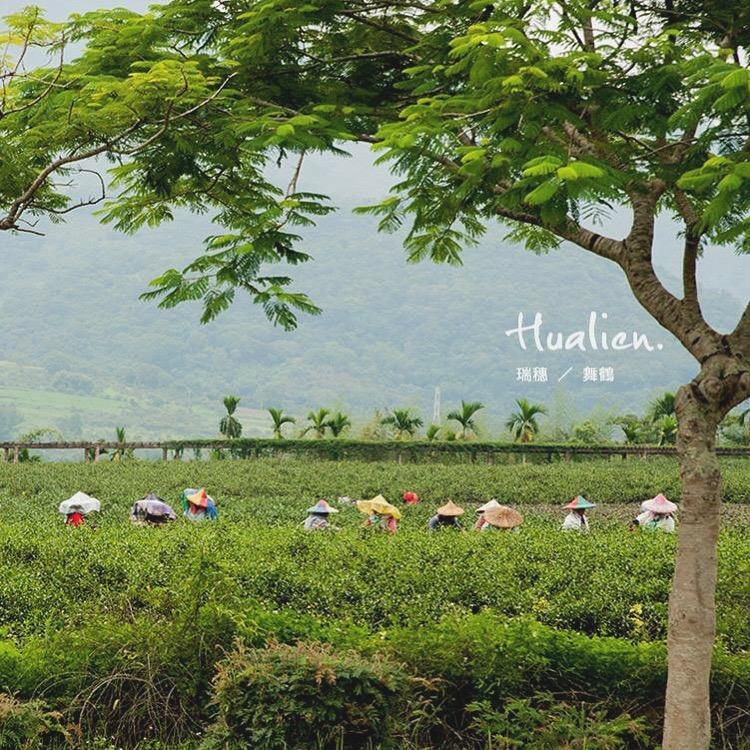 瑞穗》夏天的採茶風景,在舞鶴。