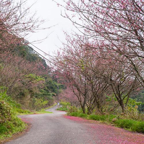赤柯山櫻花